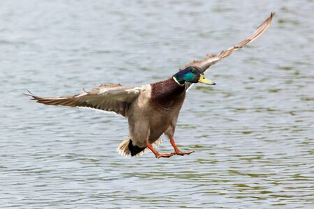 Duck in flight over the pond .
