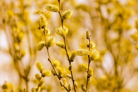 Yellow flowers on the branches of willow .