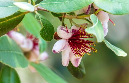 Flowers on the branches of the Feijoa tree .