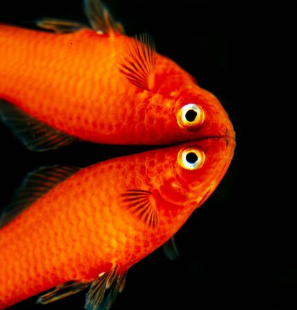 Little fish with reflection on black background . Stock Photo