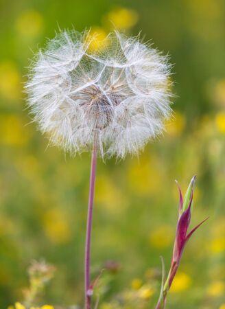 La pelusa de diente de león vuela a través de las plantas.