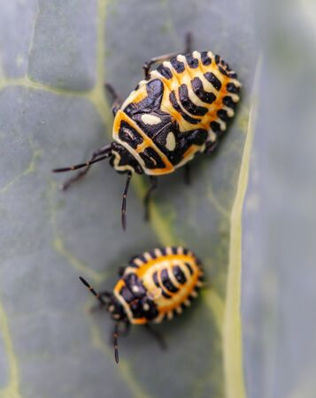 Small yellow beetles on a leaf in nature .
