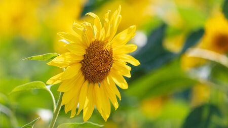Sunflowers grow in the field. Large yellow flowers 免版税图像 - 128307499