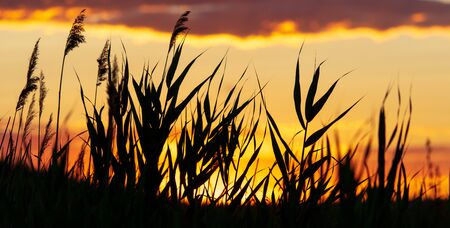 Silhouette of bulrush on sunset background.