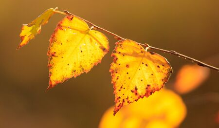 The leaves on the branches of birch. Golden autumn in the forest