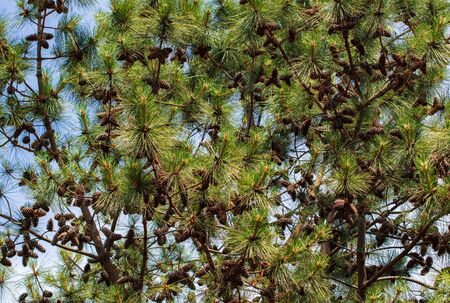 Cones on coniferous tree branches. Nature in the arboretum Stock Photo
