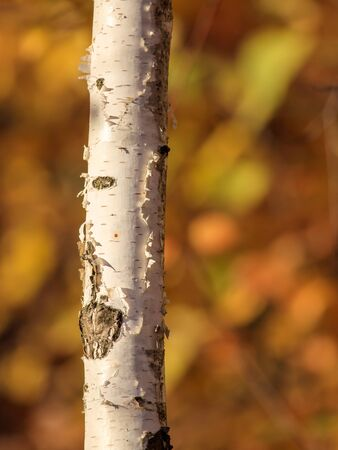 White bark on a birch on the nature in the fall . Stock Photo