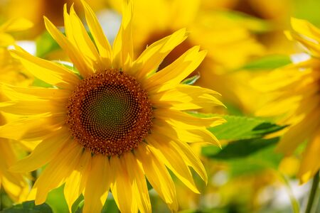 Sunflowers grow in the field. Large yellow flowers Archivio Fotografico - 129442898
