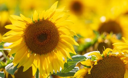 Sunflowers grow in the field. Large yellow flowers Archivio Fotografico - 129444529