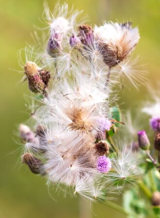 Fluff on a plant in nature. Macro