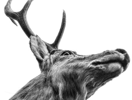 Portrait of a deer in black and white. Imagens