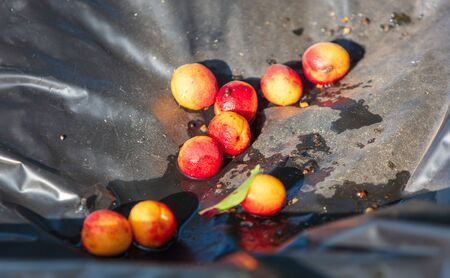 Ripe apricot fell from a tree.