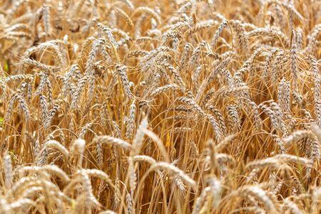 Spighe di grano mature crescono sulla natura.
