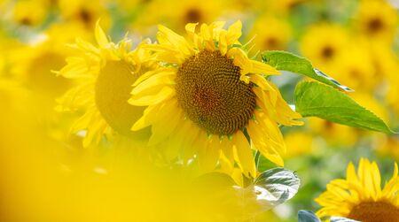Sunflowers grow in the field. Large yellow flowers Zdjęcie Seryjne