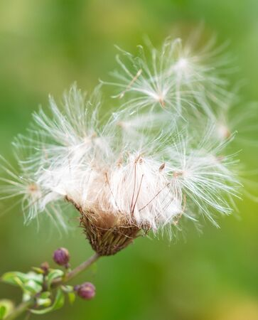 Fluff on a plant in nature. Macro Stok Fotoğraf - 129754532