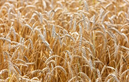 Ripe ears of wheat grow on the nature.