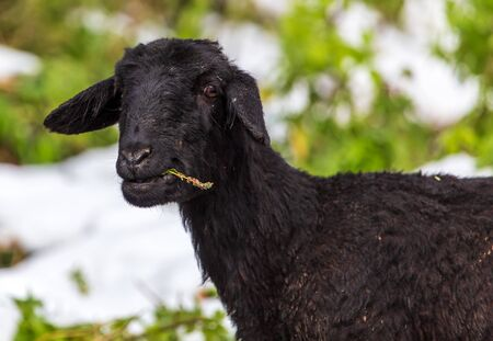 Portrait of a black ram in a pasture.