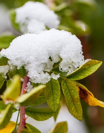 The first snow on the green leaves of the plant. Foto de archivo - 129858981