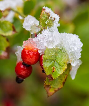 The first snow on red rosehips in nature. Standard-Bild - 129859155