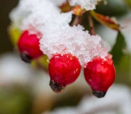 The first snow on red rosehips in nature.