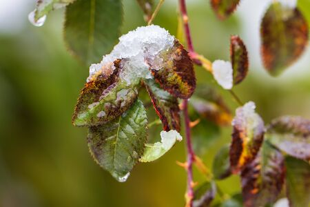 The first snow on the green leaves of the plant. Foto de archivo - 129859791