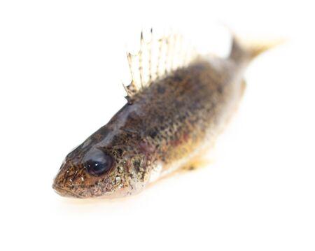 Ruff fish isolated on a white background. Фото со стока