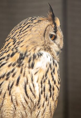 Portrait of an eagle owl in a zoo.
