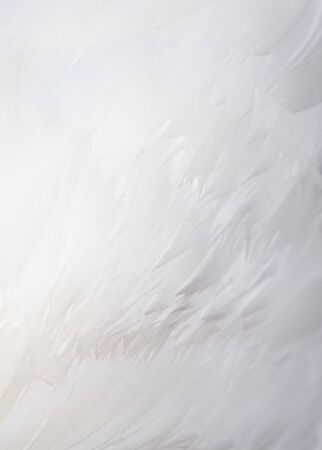 Feathers on a white peacock as an abstract background.