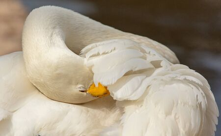 Portrait of a white swan in a zoo.