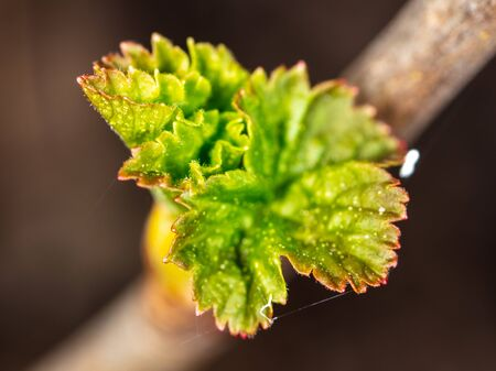 An opened bud on a tree in a park in spring. Macro Imagens