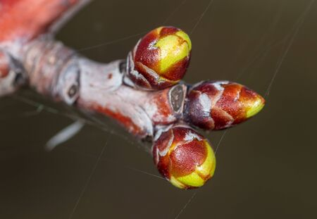 A bud on a tree in a park in spring. Macro