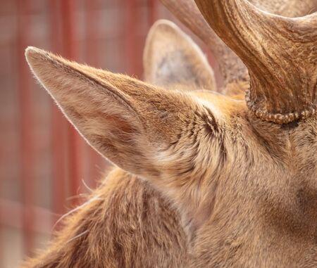 Deer ear in the zoo.