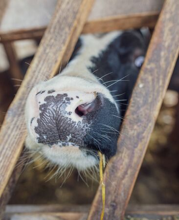 Portrait of a bull in a farm shed.