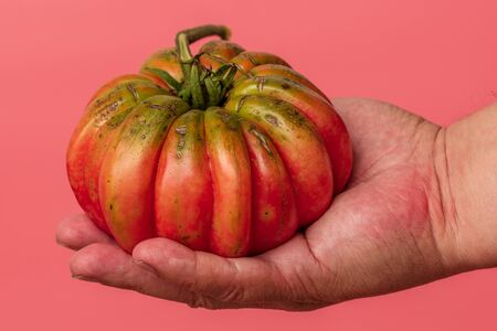 Big tomato in hand on a pink background.