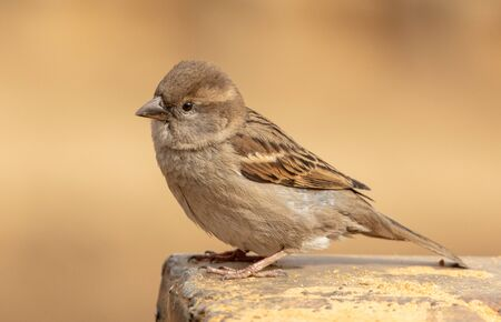 Portrait of a sparrow on the ground in a park.