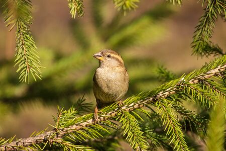 Portrait of a sparrow on a conifer in a park.
