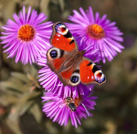 Butterfly on pink flowers with a purple tint. 스톡 콘텐츠