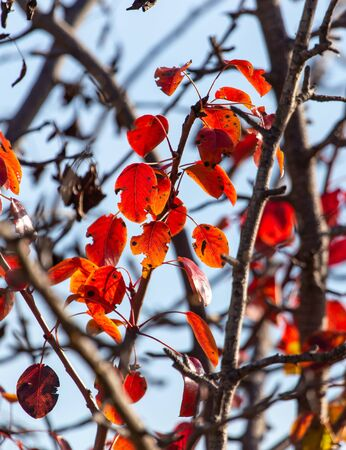 Red leaves on a birch tree in the fall.
