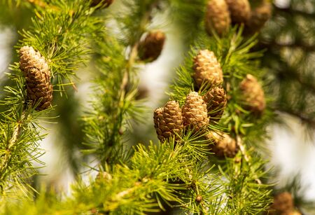 Green needles and cones on the branches of larch.