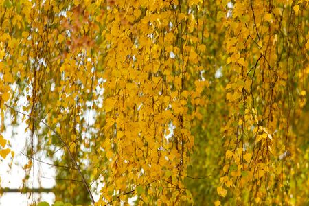 Birch in yellow colors in the fall.