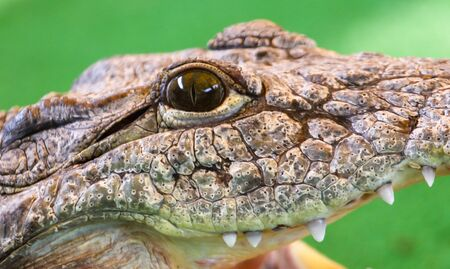 Eye of a crocodile on a green background . Stockfoto