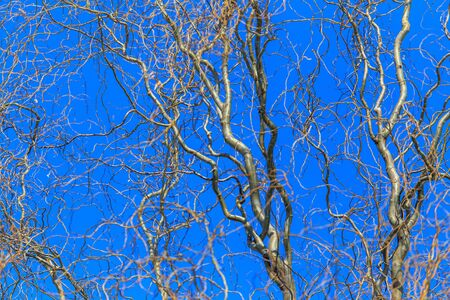 Bare branches of a curly tree on a background of blue sky. Фото со стока
