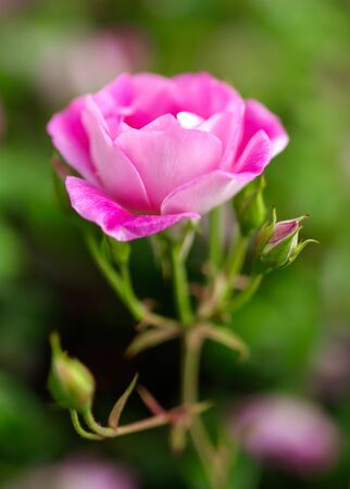 Beautiful pink rose grows in the park.