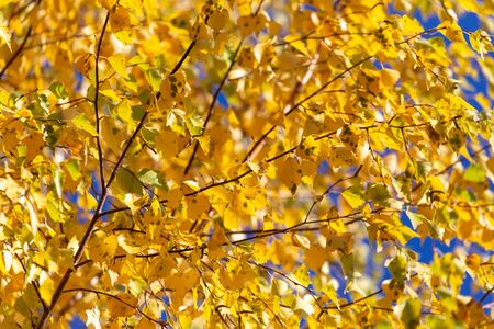 Yellow leaves on a tree in the fall.