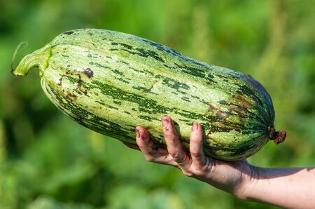 Big zucchini in the hands of the garden.