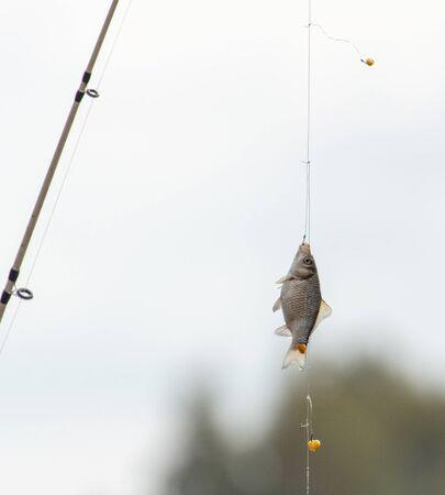 Crucian on a fishing rod hook.