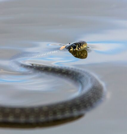 A snake swims in the expanse of water. Фото со стока