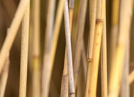 Yellow bulrush as a background in autumn.