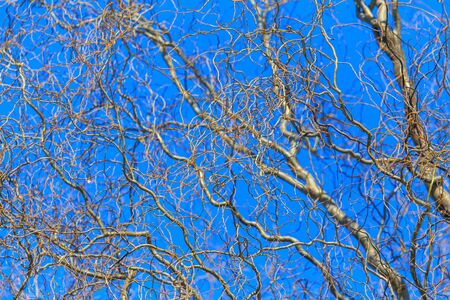 Bare branches of a curly tree on a background of blue sky.