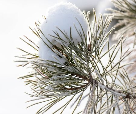 Coniferous branches in the snow in winter. Stock fotó